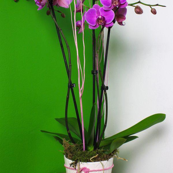 Phalaenopsis s črepníkom Standard - do-2-hodin, donáška kvetov Bratislava