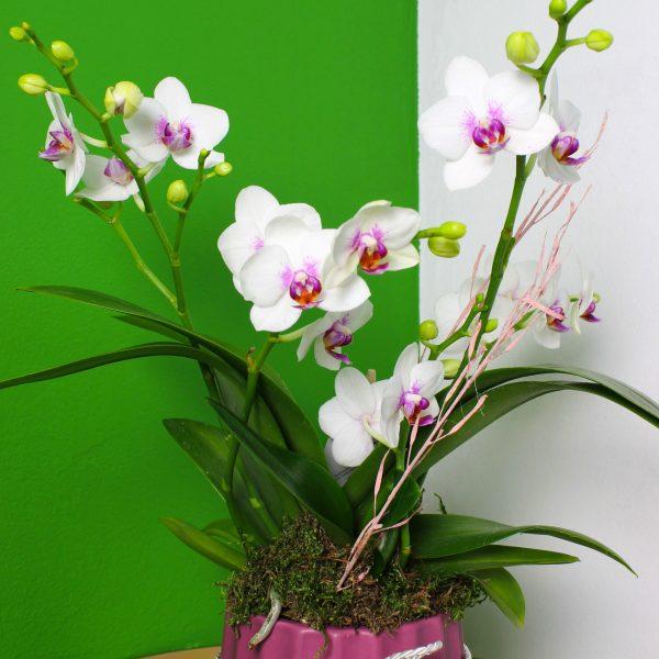 Phalaenopsis s črepníkom Premium - do-2-hodin, donáška kvetov Bratislava