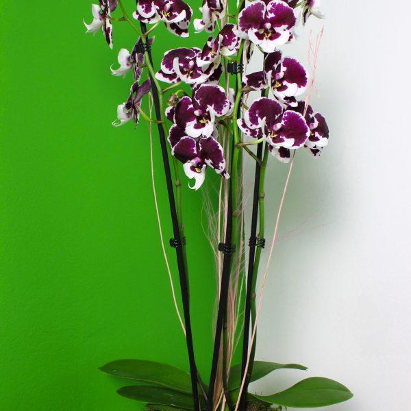 Phalaenopsis s črepníkom Luxe - do-2-hodin, donáška kvetov Bratislava